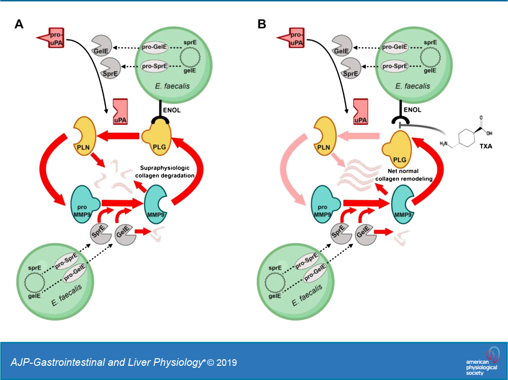 Enterococcus Faecalis Exploits The Human Fibrinolytic System To Drive Excess Collagenolysis Implications In Gut Healing And Identification Of Druggable Targets American Journal Of Physiology Gastrointestinal And Liver Physiology