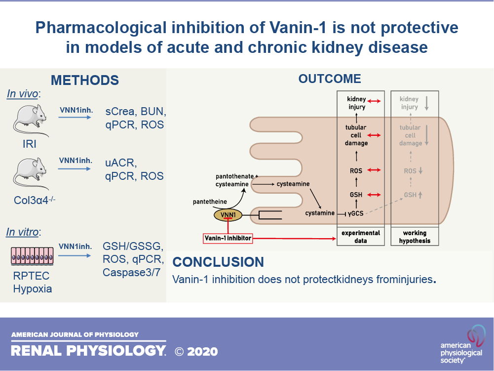 Pharmacological Inhibition Of Vanin 1 Is Not Protective In Models Of Acute And Chronic Kidney Disease American Journal Of Physiology Renal Physiology