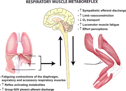 Exercise Induced Respiratory Muscle Fatigue Implications For Performance Journal Of Applied Physiology