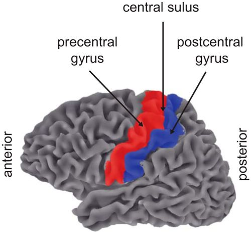 Normalization In Human Somatosensory Cortex Journal Of Neurophysiology The postcentral gyrus is a prominent gyrus in the lateral parietal lobe of the human brain. american journal of physiology american physiological society