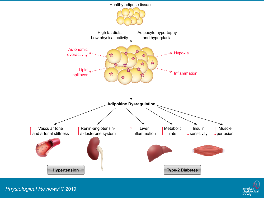 Mechanistic Links Between Obesity Diabetes And Blood Pressure Role Of Perivascular Adipose Tissue Physiological Reviews